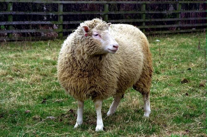 세계 최초의 복제 동물인 복제 양 '돌리(Dolly)'. 1996년 7월 5일 태어난 돌리는 올해로 탄생 20주년을 맞았다. - 에든버러대 로슬린연구소 제공